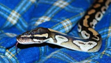 Riesenschwanz oder Python in der Hose?